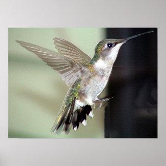 Ruby-Throated Hummingbird 2003-0069 Poster