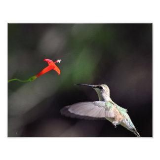 Ruby-throated hummingbird and cardinal climber photograph