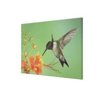Ruby-throated Hummingbird, Archilochus 2 Gallery Wrapped Canvas