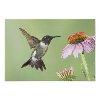 Ruby-throated Hummingbird, Archilochus 3 Photographic Print