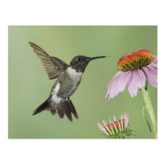 Ruby-throated Hummingbird, Archilochus 3 Postcard
