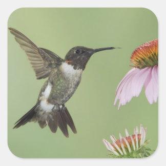 Ruby-throated Hummingbird, Archilochus 3 Square Sticker