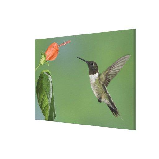 Ruby-throated Hummingbird, Archilochus Canvas Prints