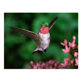 Ruby Throated Hummingbird (Archilochus colubris) Postcard