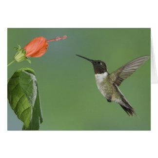 Ruby-throated Hummingbird, Archilochus Greeting Card