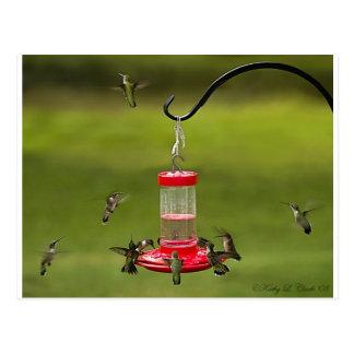Ruby Throated Hummingbird Feeding Frenzy Postcard