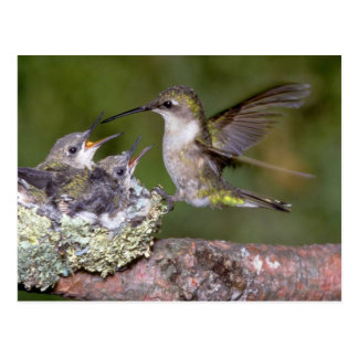 Ruby-throated Hummingbird (female) with young Postcard