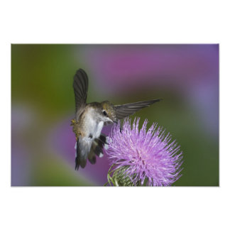 Ruby-throated hummingbird in flight at thistle 3 art photo
