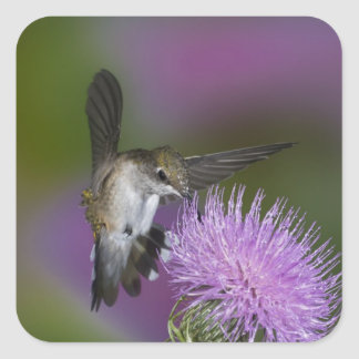 Ruby-throated hummingbird in flight at thistle 3 square stickers