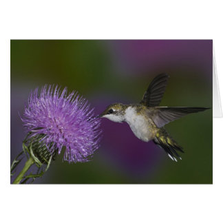 Ruby-throated hummingbird in flight at thistle card