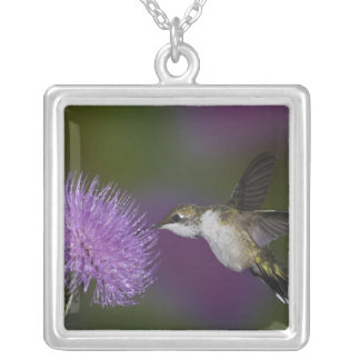 Ruby-throated hummingbird in flight at thistle jewelry