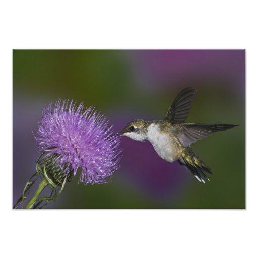 Ruby-throated hummingbird in flight at thistle art photo