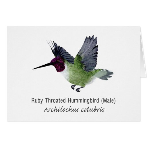 Ruby Throated Hummingbird Male with Name Card