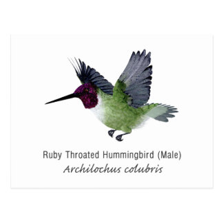 Ruby Throated Hummingbird Male with Name Postcard