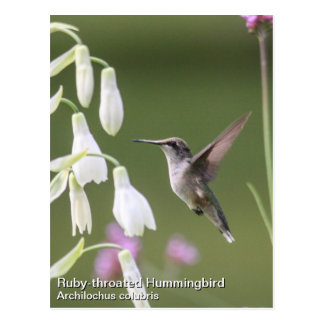 Ruby-throated Hummingbird Postcard