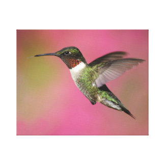 Ruby Throated Hummingbird Stretched Canvas Prints