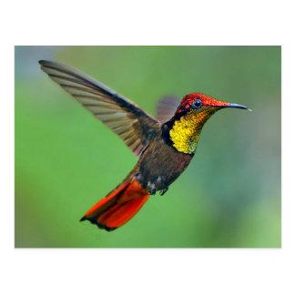 Ruby Topaz Hummingbird (Chrysolampis mosquitus) Postcard