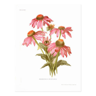 Rudbeckia purpurea postcard