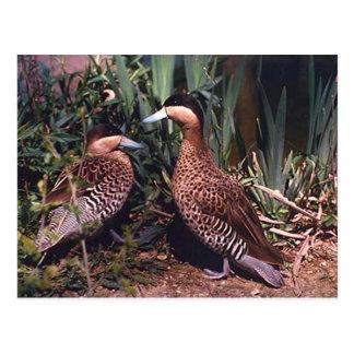 ruddy ducks postcard