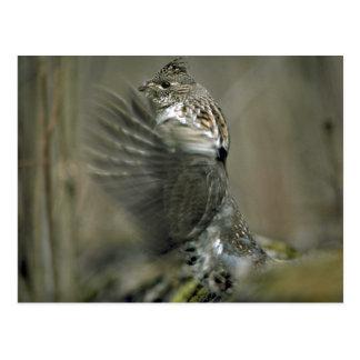 Ruffed grouse drumming, wing blur post card