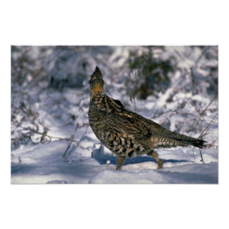 Ruffed grouse standing in a snowy weed lot poster