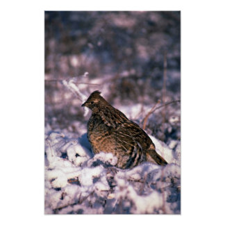 Ruffed grouse standing in a snowy weed lot print