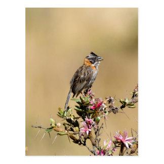 Rufous-collared Sparrow (Zanotrichia capensis) Postcard