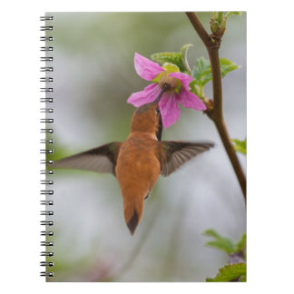 Rufous hummingbird at wild rose notebook