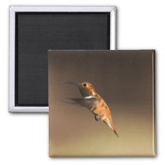Rufous Hummingbird in flight Magnet
