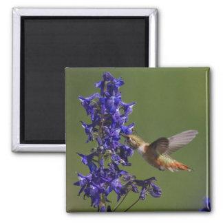 Rufous Hummingbird, Selasphorus rufus, female Square Magnet