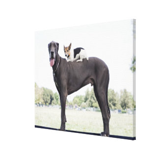 Russell terrier on great dane's back stretched canvas prints
