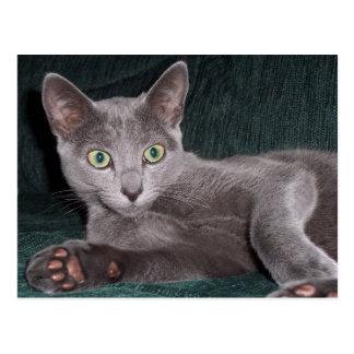 Russian Blue Kitten Postcard