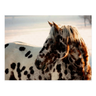 Rusty the Appaloosa Postcard