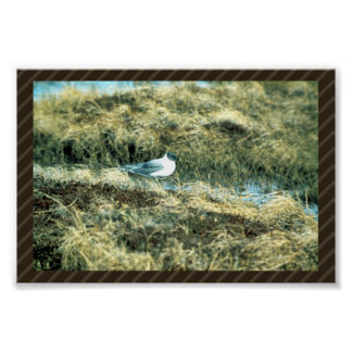Sabines Gull Print