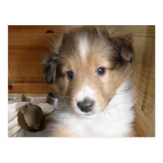 Sable Sheltie Pup Postcard