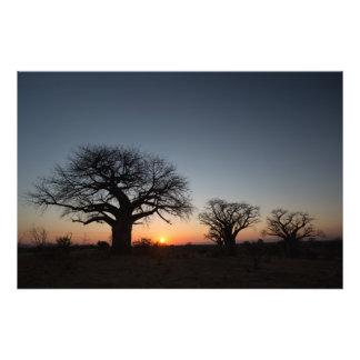 Sacred Baobabs Photo Print