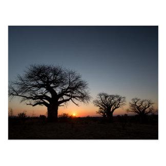 Sacred Baobabs Postcard