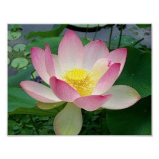 """Sacred Lotus"" Poster"