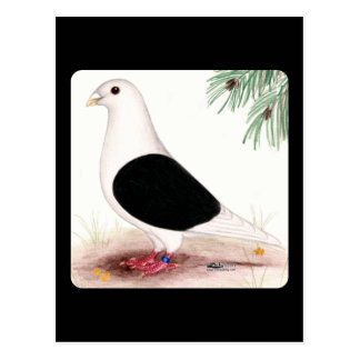 Saddle Homer Pigeon Postcard