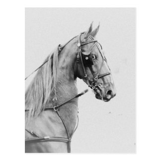 Saddlebred fine harness postcard