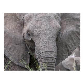 Safari African Jungle Destiny Animals Elephants Postcard