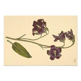 Sage Leaved Bellflower Botanical Illustration Photo Art