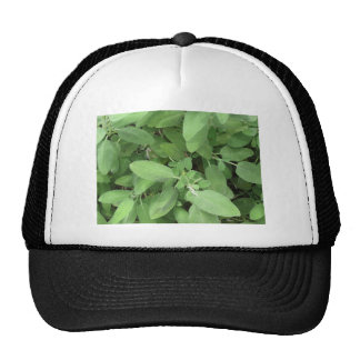 Sage plant in the garden. Tuscany, Italy Cap