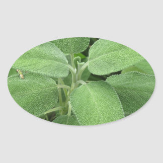 Sage plant in the garden. Tuscany, Italy Oval Sticker