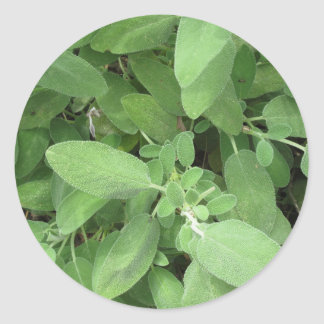 Sage plant in the garden. Tuscany, Italy Round Sticker