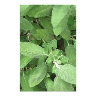 Sage plant in the garden. Tuscany, Italy Stationery