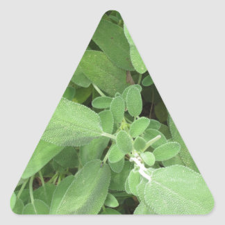 Sage plant in the garden. Tuscany, Italy Triangle Sticker