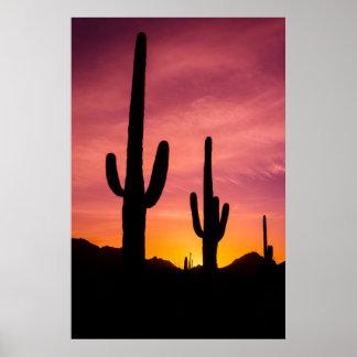 Saguaro cactus at sunrise, Arizona Poster