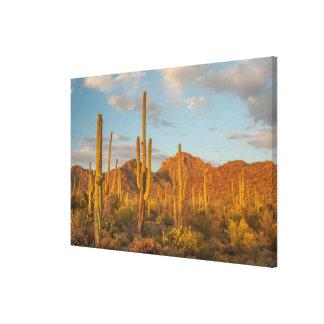Saguaro cactus at sunset, Arizona Canvas Print