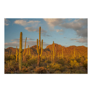 Saguaro cactus at sunset, Arizona Poster